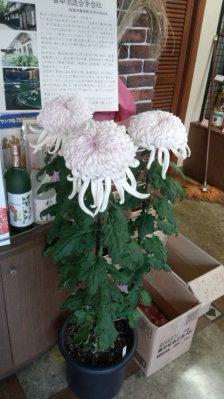 きれいな菊をもらいましたが?1