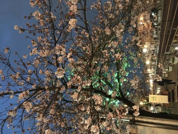 夜桜の後は、「元ちゃん」でイッパイ!1